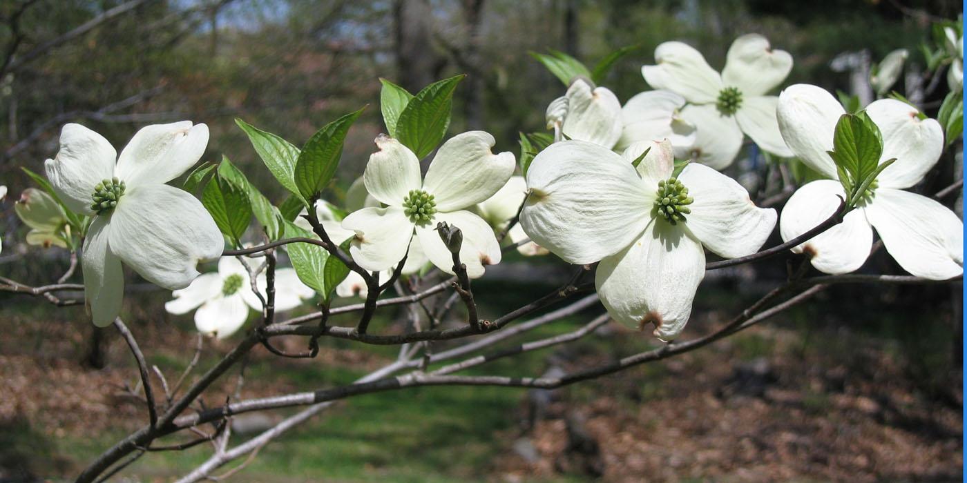 npsnj cornus florida flowering dogwood. Black Bedroom Furniture Sets. Home Design Ideas